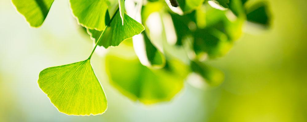 Ginkgo Biloba Feuille | Effets secondaires - Santé par les plantes - Conseils et astuces